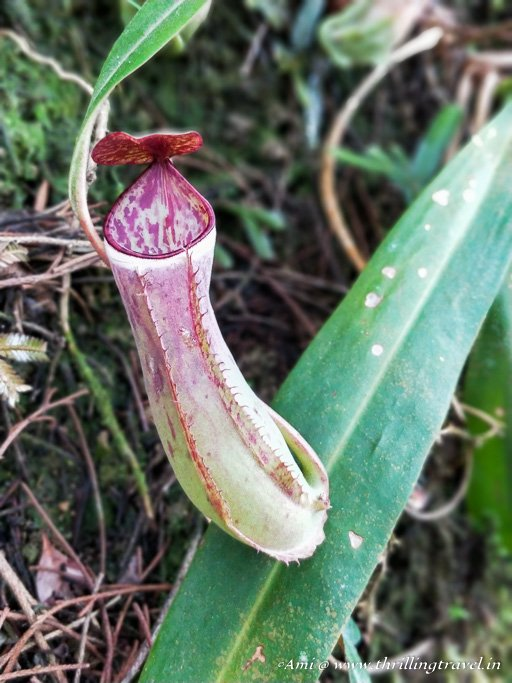 The Pitcher plant at The Habitat Penang Hill
