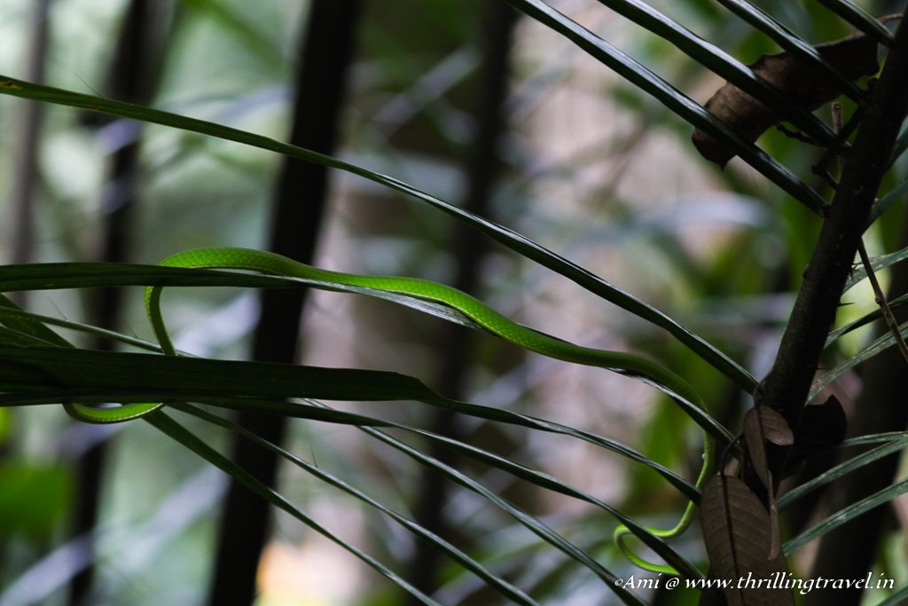 The camouflaged Green Viper at The Habitat Penang Hill