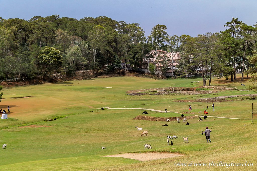 The sheep grazing at the Shillong Golf Course