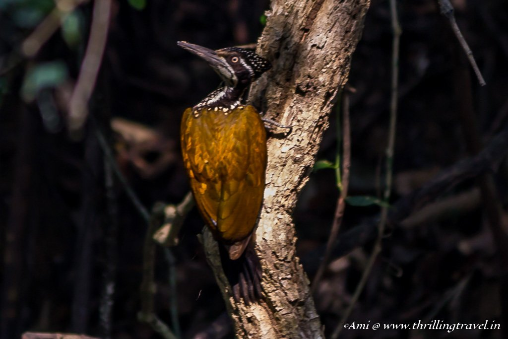 Greater Goldenback Woodpecker in Sakleshpur