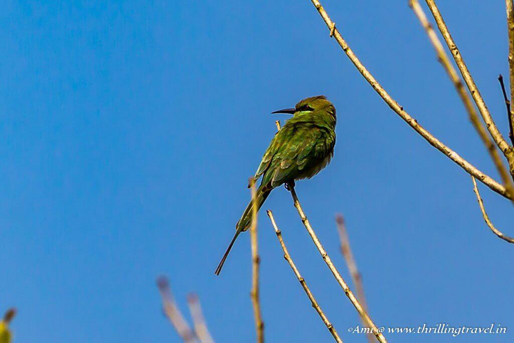 Green Bee Eater in Sakleshpur