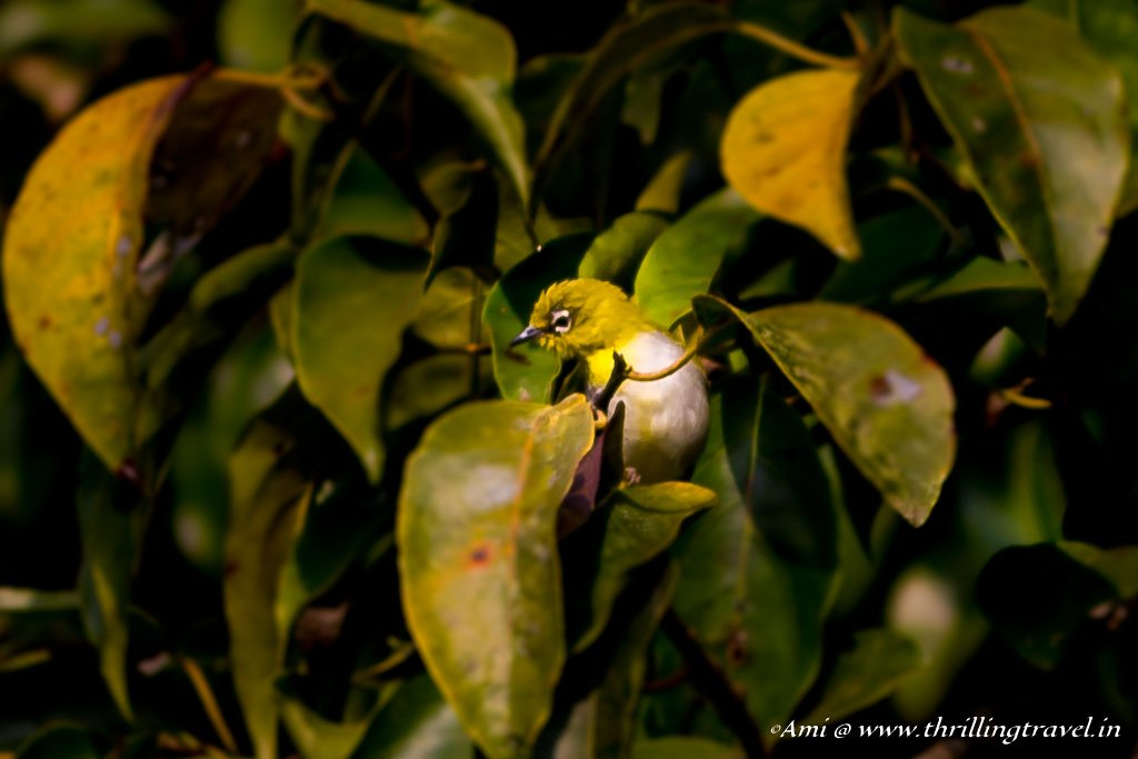 Oriental White Eye in Sakleshpur