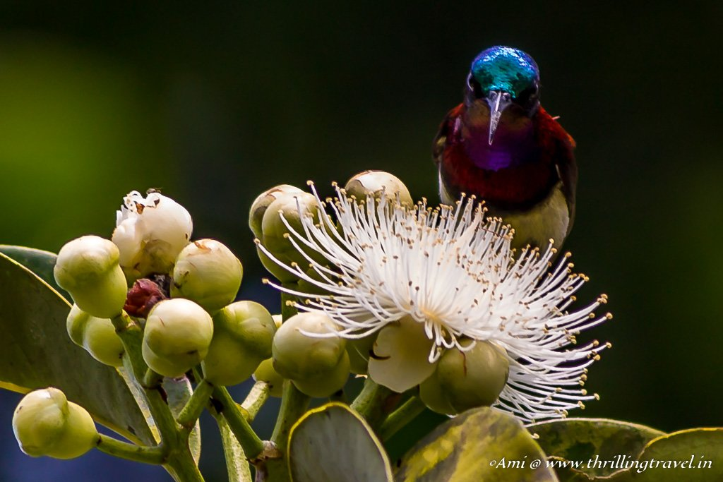 Purple Rumped Sunbird in Sakleshpur