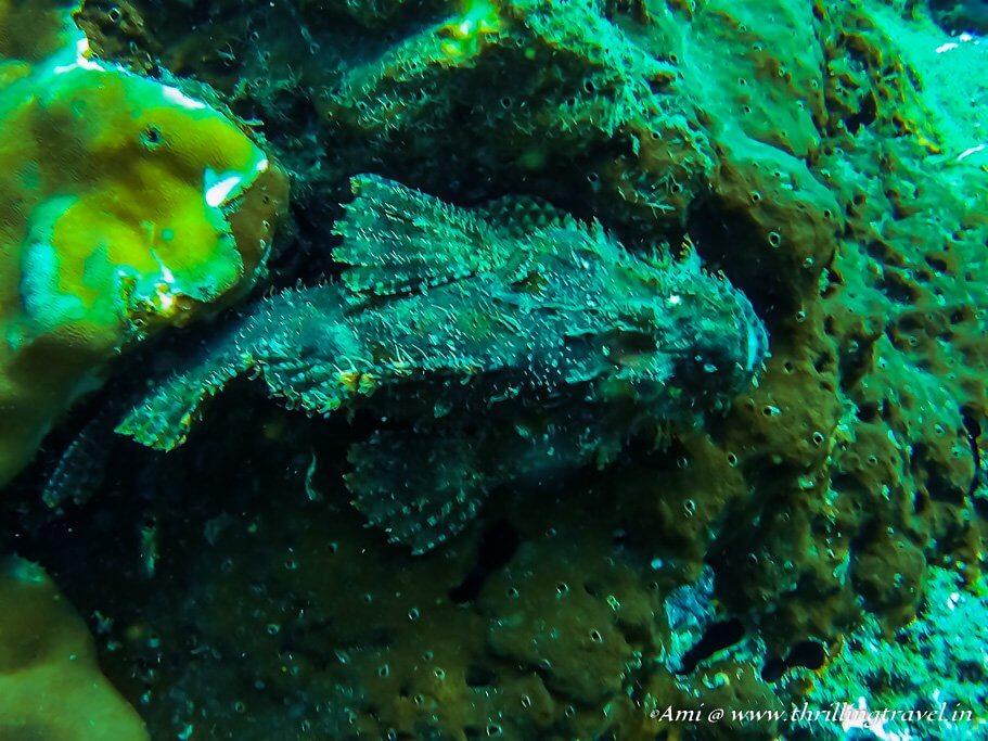 Scorpion Fish at Netrani Island