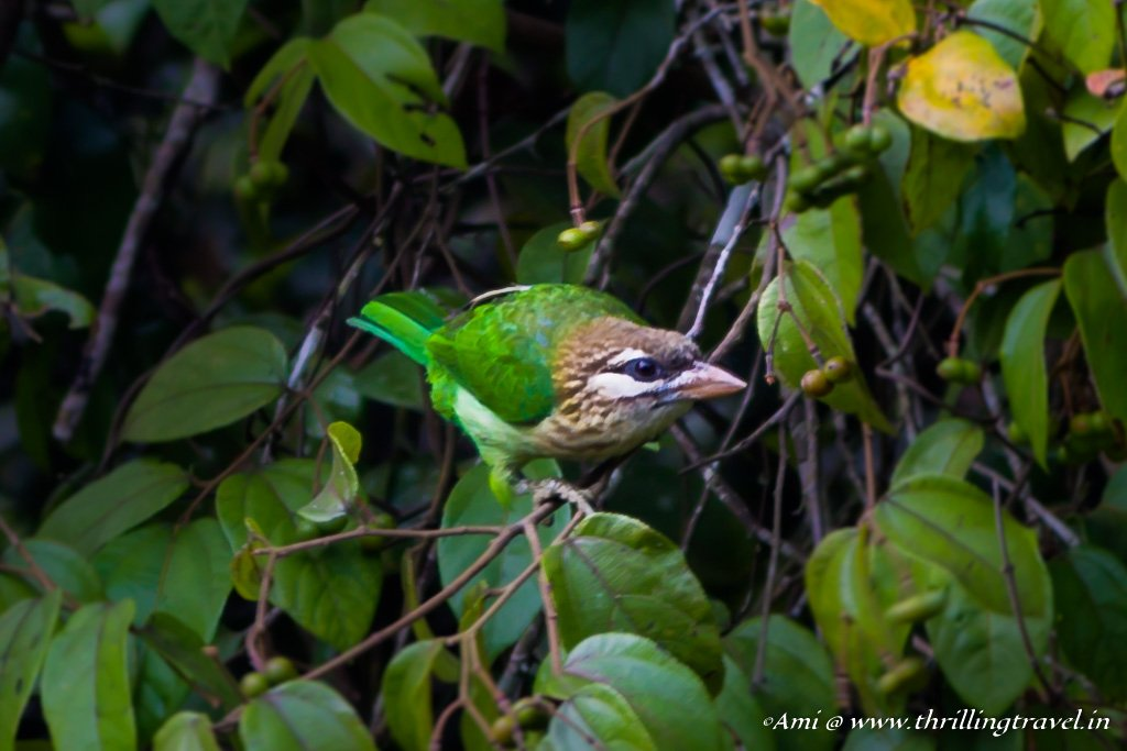 White Cheeked Barbet in Sakleshpur