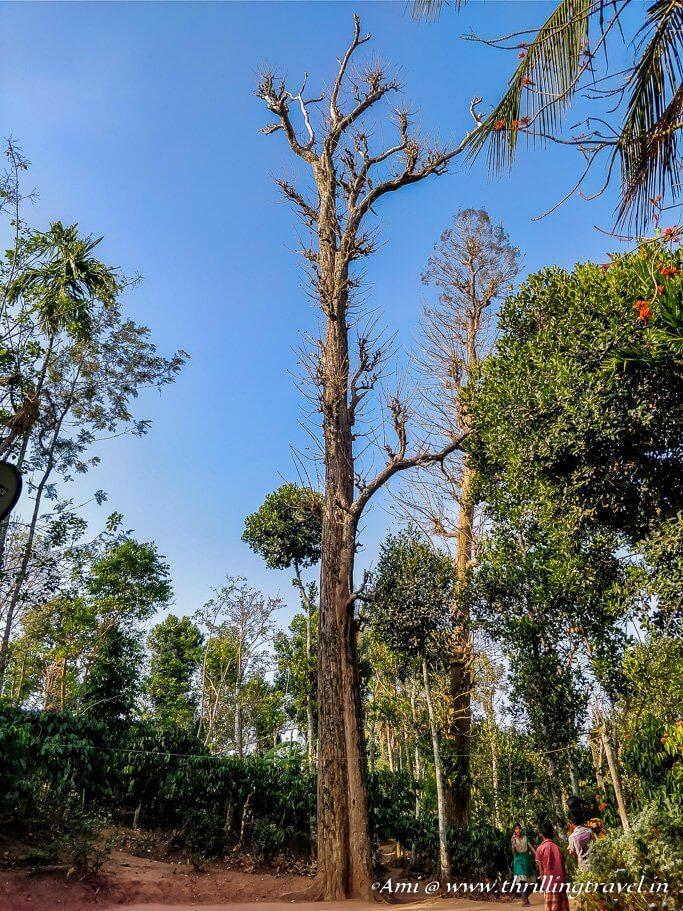 2nd tallest teak wood tree in South India_Wayanad