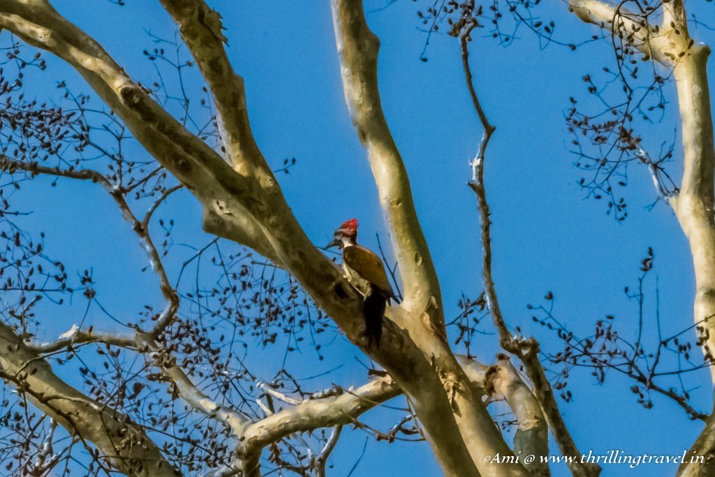 Black Rumped Flameback Woodpecker, Wayanad, Kerala