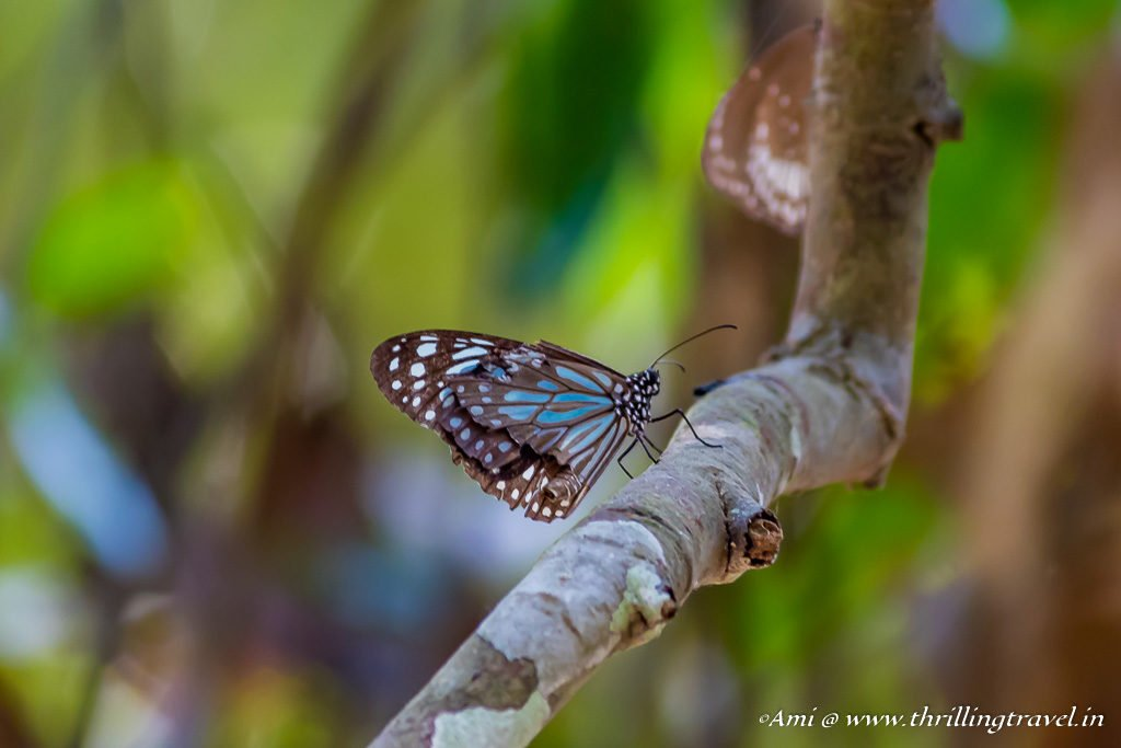 Blue Tiger Butterfly at Kuruva Island, Wayanad