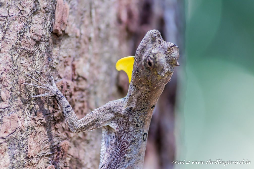 Close up of Draco_flying lizard_Kuruva Island