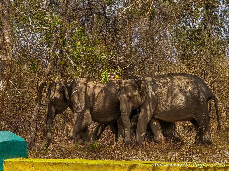 Elephants from Wayanad Wildlife Sanctuary