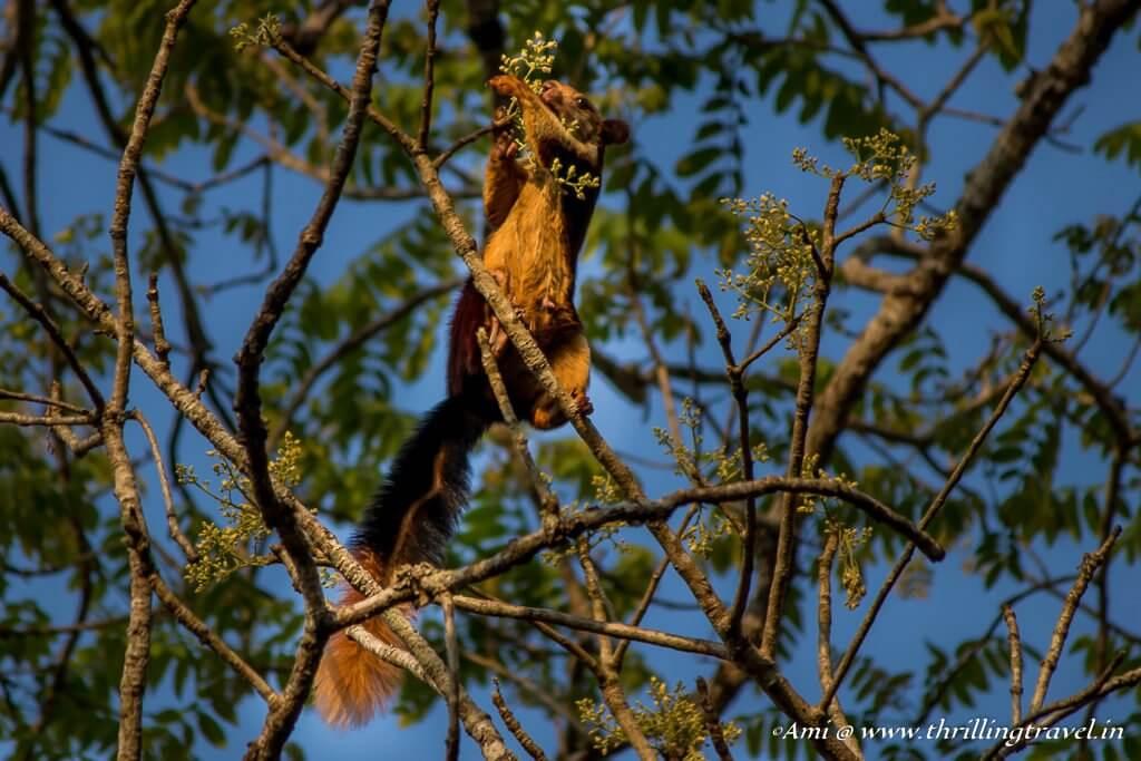 Giant Squirrel, Wayanad Wildlife Sanctuary