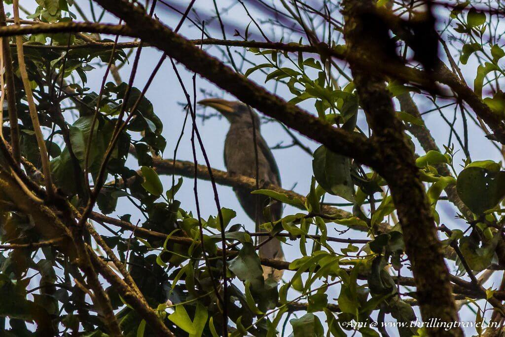 Malabar Hornbill, Wayanad Wildlife Sanctuary
