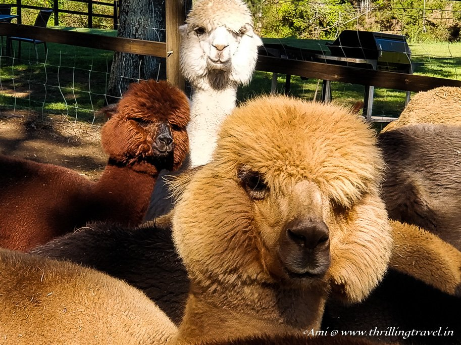 Alpaca at O'Reilly Vineyards