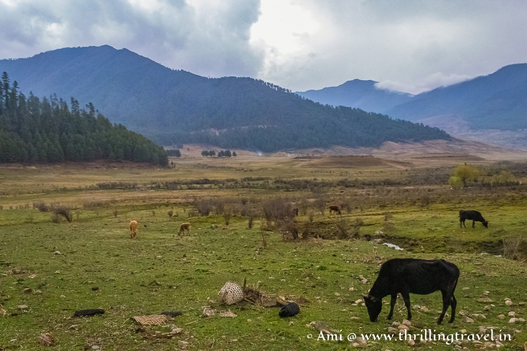 Cattles grazing in Phobjikha Valley