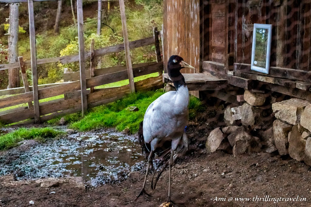 Black Necked Crane in Phobjikha Valley