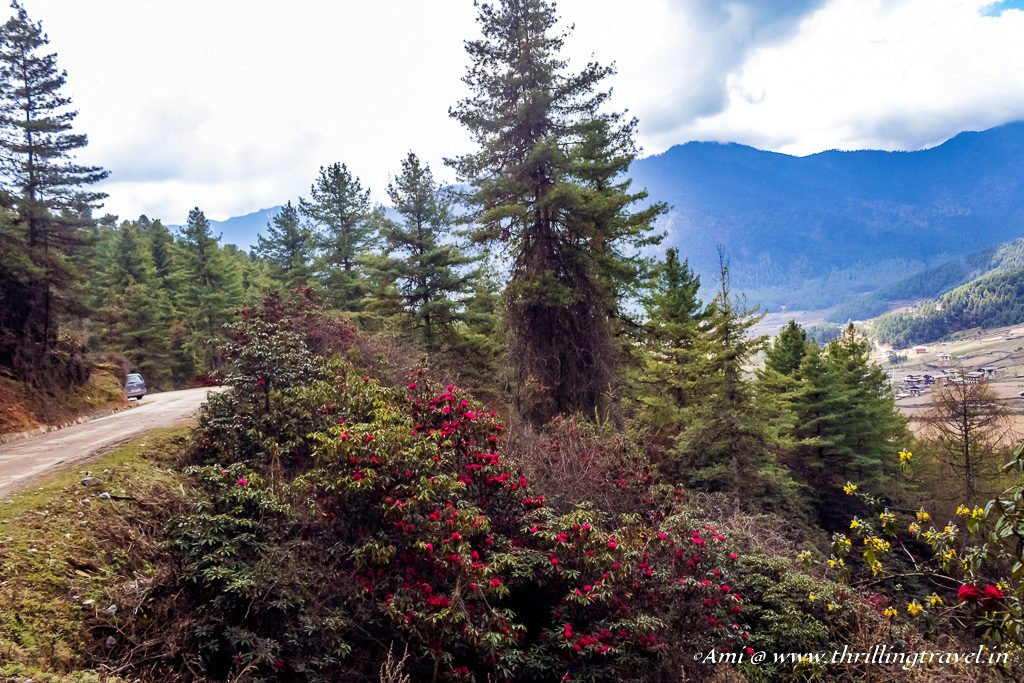 Rhododendrons along the drive to Phobjikha
