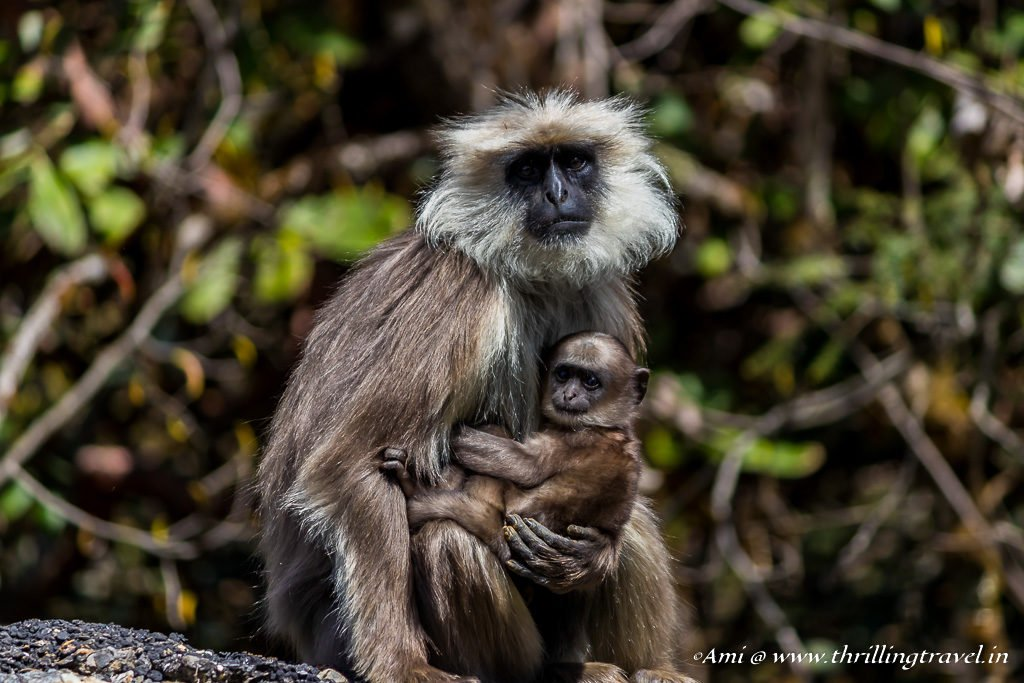 Tarai Gray Langur found enroute to Phobjikha Valley