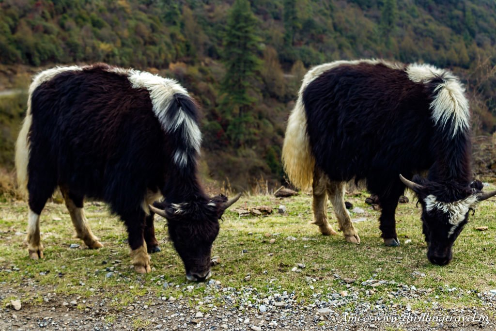 Yaks in Phobjikha Valley