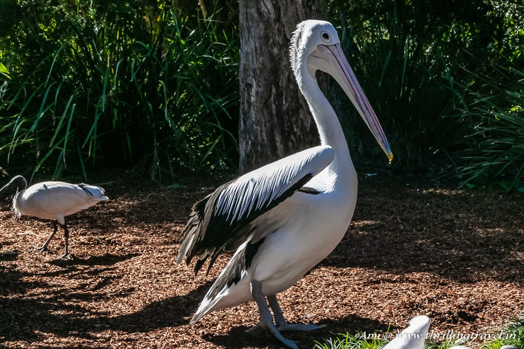 Grand entrance of the Australian Pelican at the Currumbin Wildlife Sanctuary
