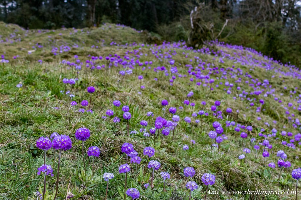 Carpet of flowers at Dochula Pass