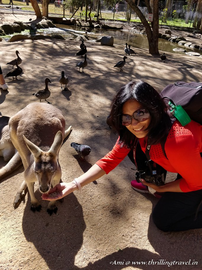 Feeding the Kangaroos at Currumbin Wildlife Sanctuary