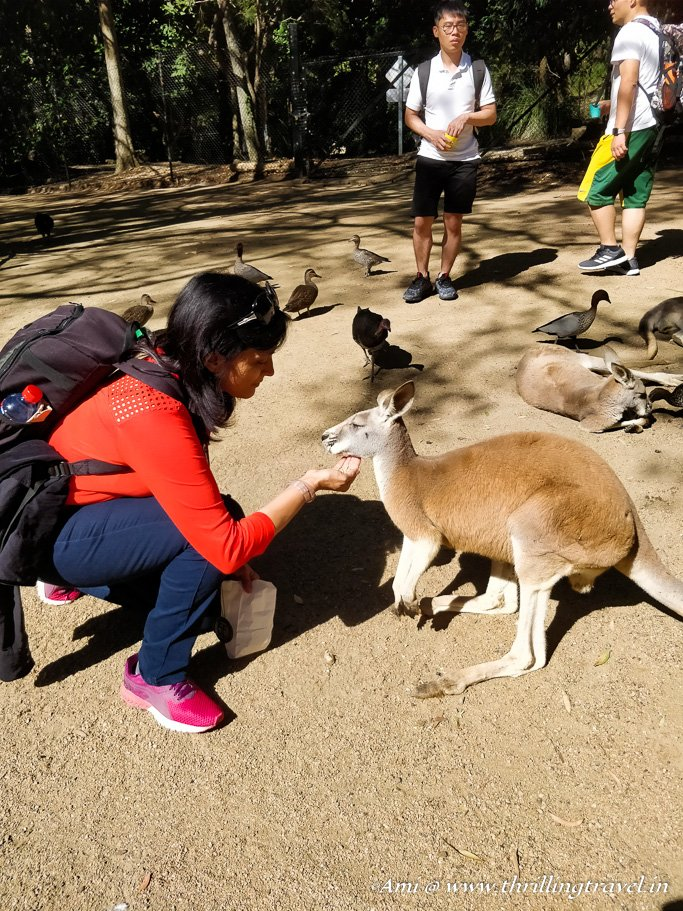 Kangaroos at Currumbin Wildlife Sanctuary, Gold Coast