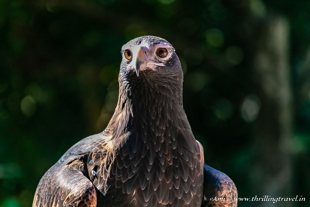 The impressive Eagle stares back at Currumbin Wildlife Sanctuary