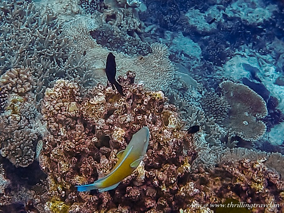 Parrot Fish swimming around in the Great Barrier Reef at Lady Elliot Island