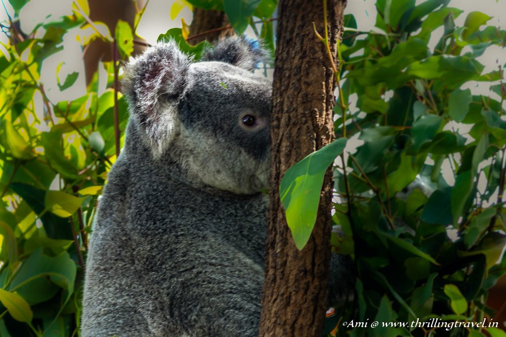 Peek-a-boo - I see you - Koala at Currumbin Wildlife Sanctuary in Australia