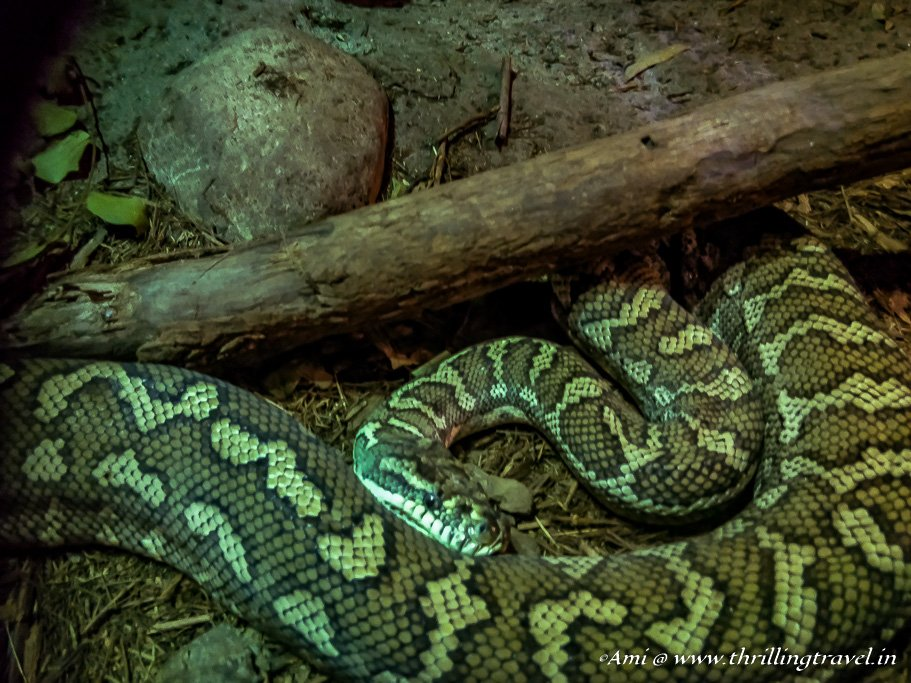 A Python at Currumbin Wildlife Sanctuary