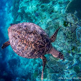 Turtle in the Great Barrier Reef, Lady Elliot Island