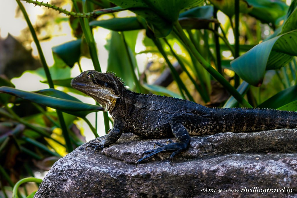 Meeting the Water Dragon at Currumbin Wildlife Sanctuary