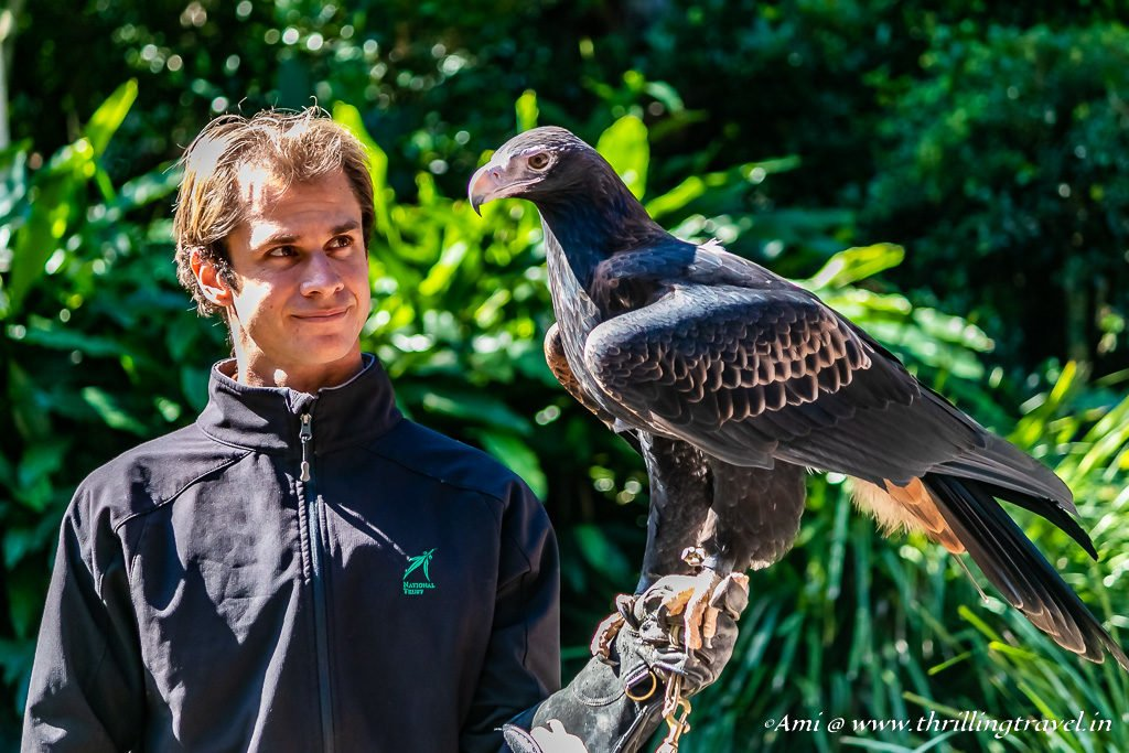 The biggest Bird of Prey - The Wedge-Tailed Eagle at Currumbin Wildlife Sanctuary