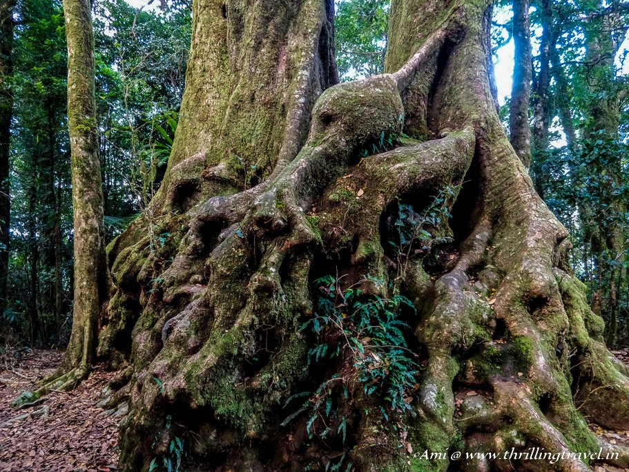 The Ancient Beech trees at Springbrook National Park