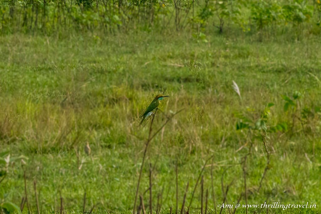 Bee Eater camouflaged