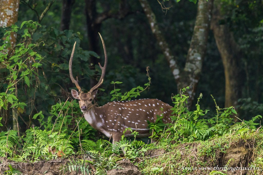 Chital in Chitwan National Park