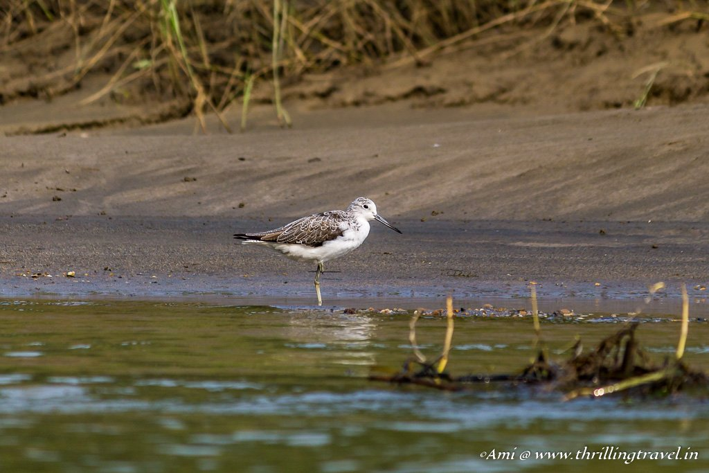 Common Greenshank by Rapti River