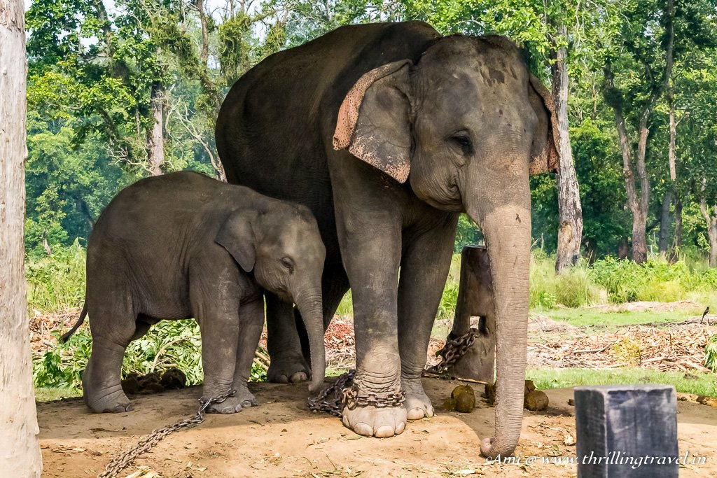 A Mother and Baby Elephant at the sanctuary in Chitwan