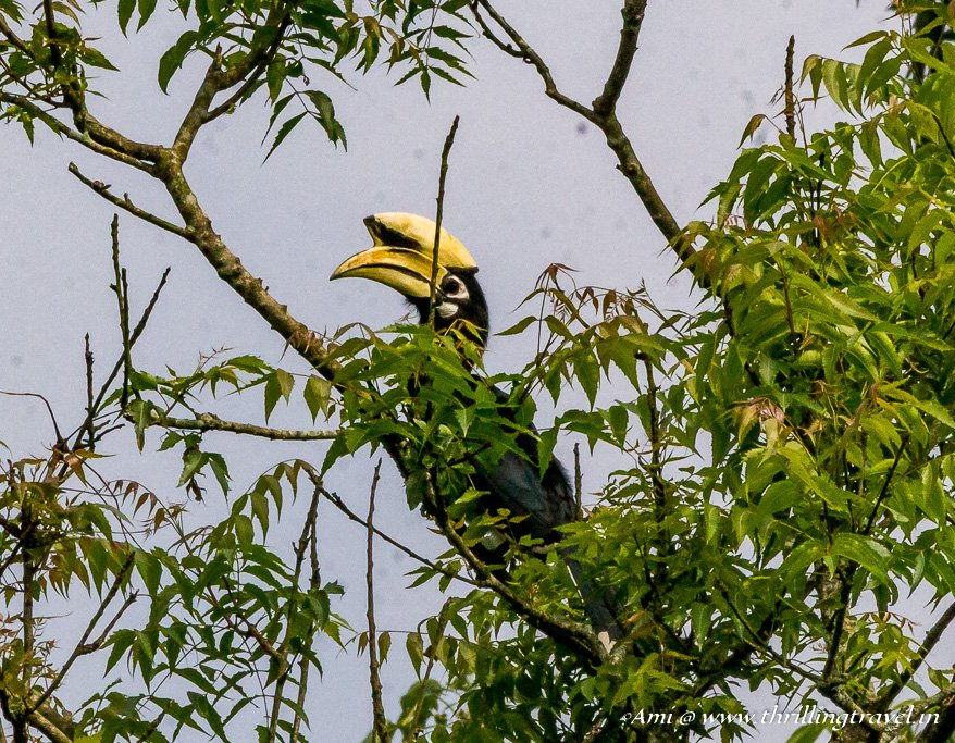 Hornbill in the Royal Chitwan National Park