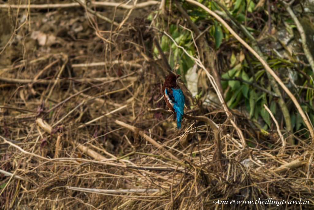 He just turned his face - the Kingfisher in Chitwan