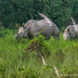 One horned Rhino in Chitwan National Park