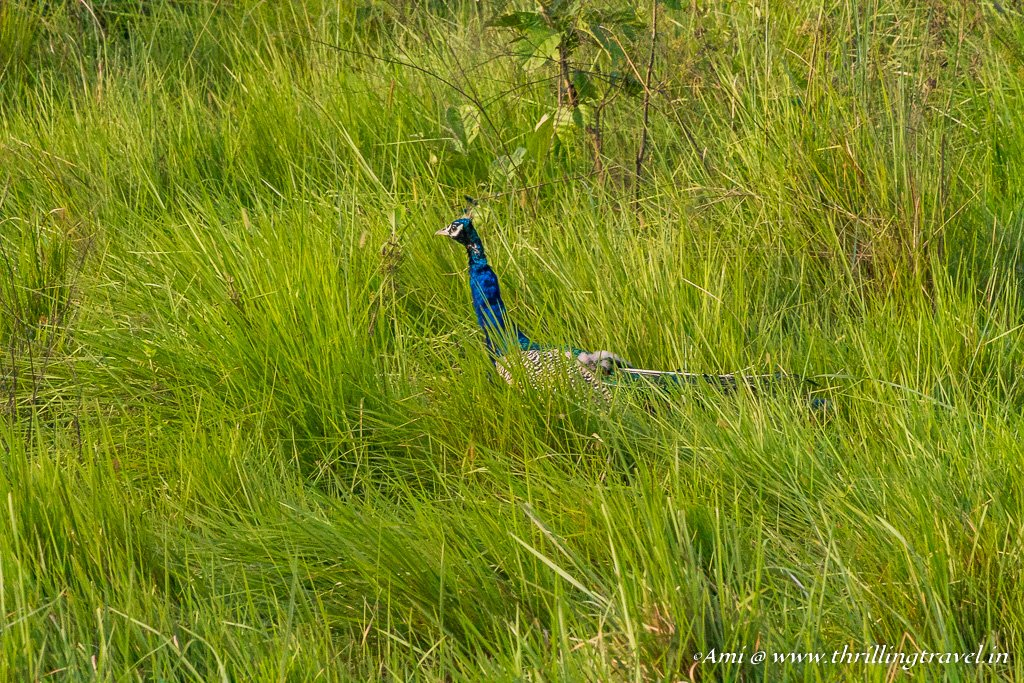 Peahen in the Grasslands of Chitwan