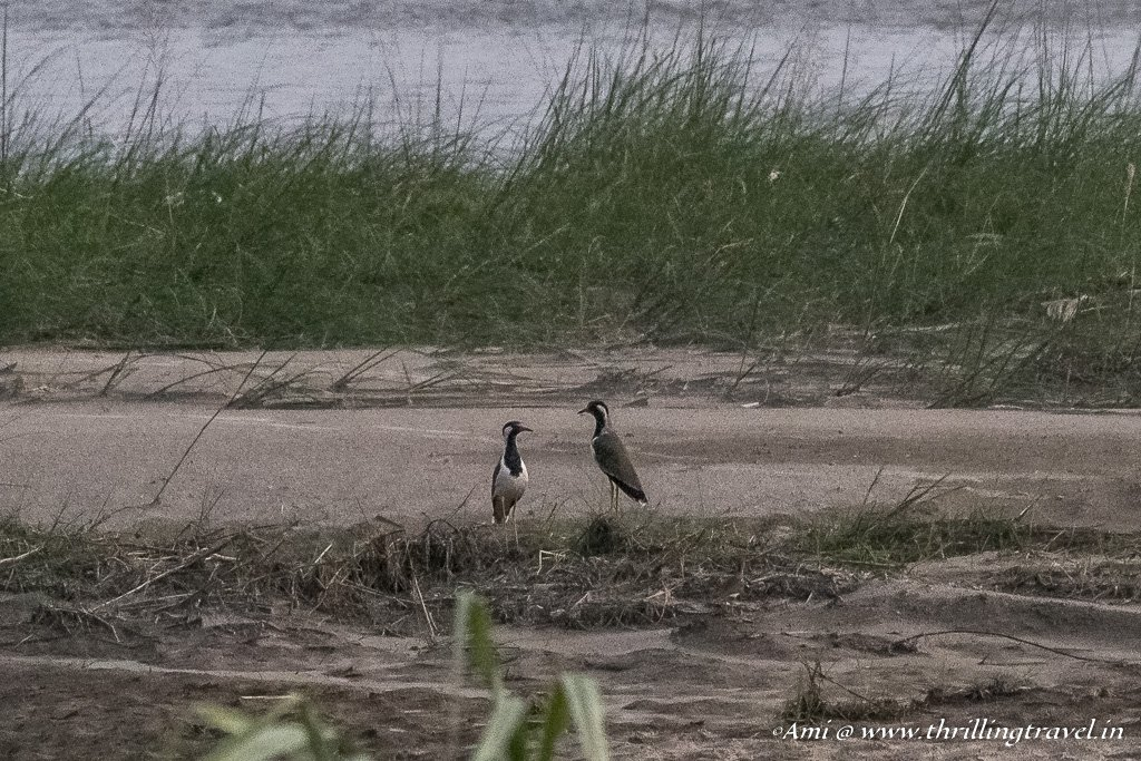 Red Wattled Lapwings