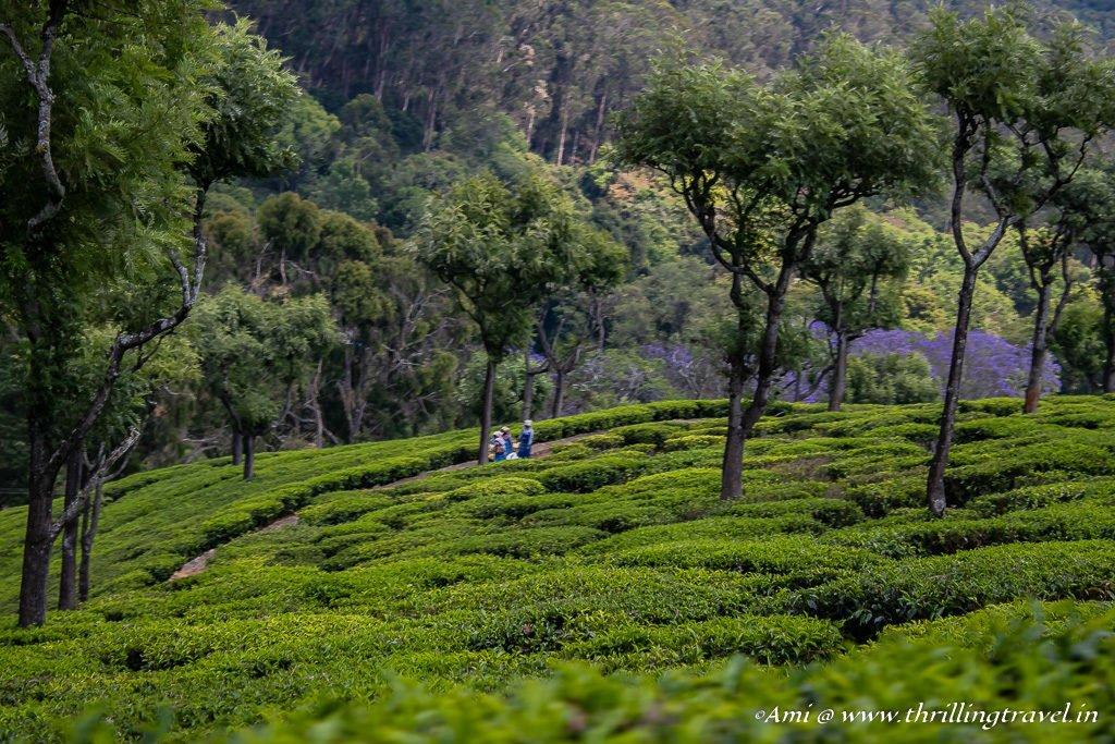A Tea Estate Tour in Ooty