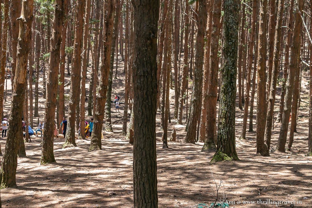 Places to visit in Kodaikanal - Pine Forest