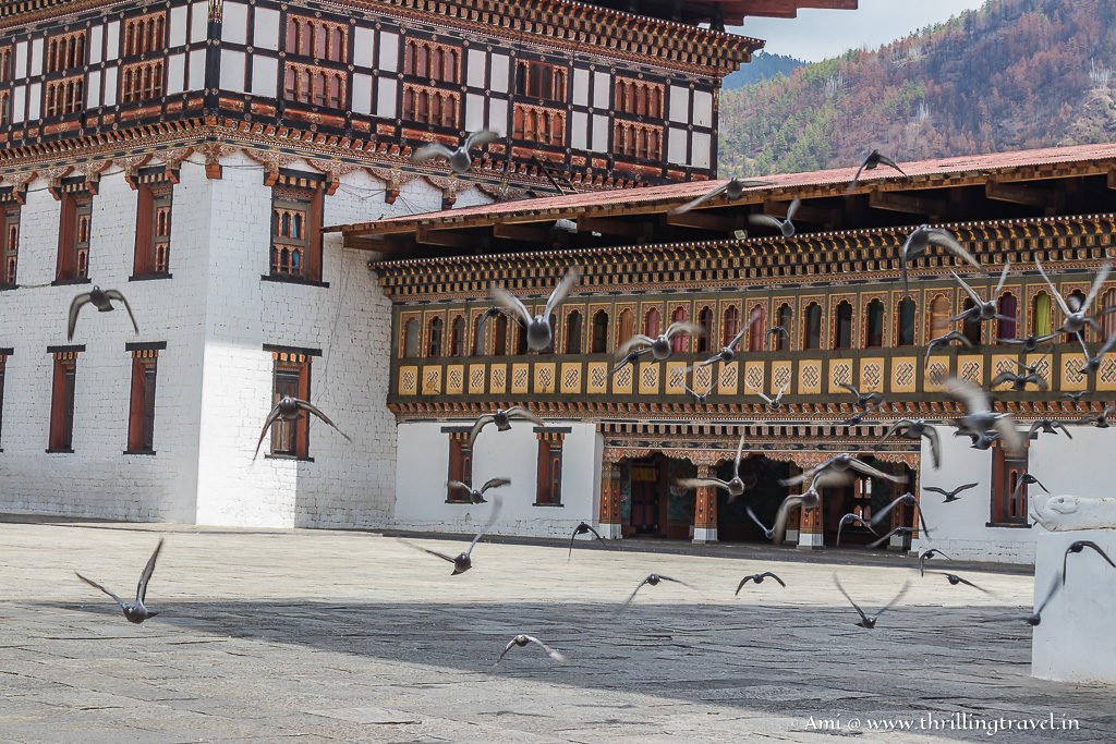 The native pigeons that add sound to the silent Tashichho Dzong
