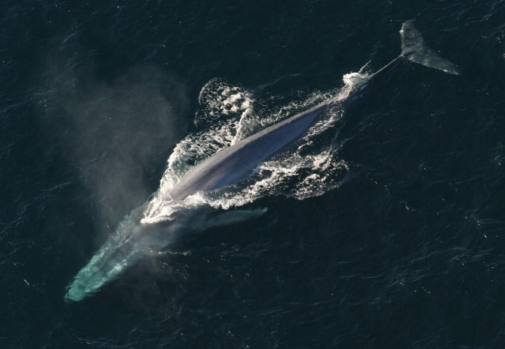The largest creature on earth - the Blue Whale