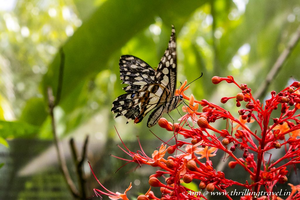 Don't miss the Butterflies at the Orchid Farm