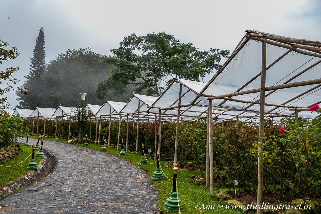 A walk through the royal rose gardens at Bhubing Palace