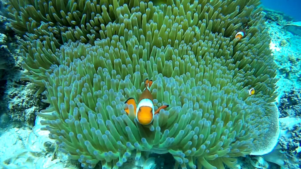 Clown fish at the Garden of Fish spot in Gili Islands